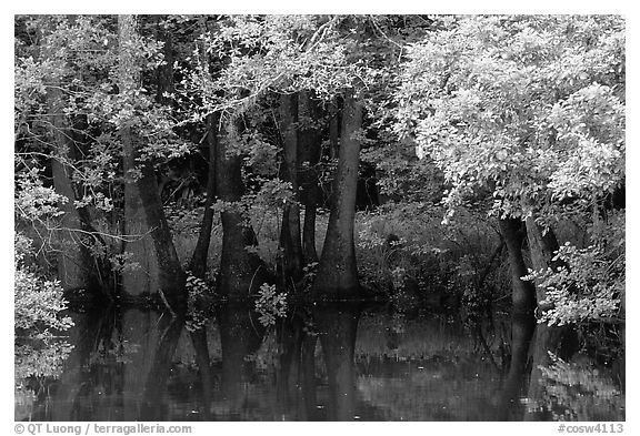 Bald cypress in summer. Congaree National Park (black and white)