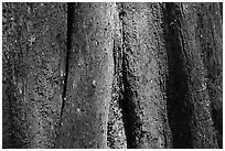 Cypress trunk detail. Congaree National Park, South Carolina, USA. (black and white)