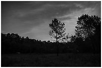 Meadow at night with flying fireflies. Congaree National Park ( black and white)