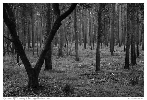 Pine forest. Congaree National Park (black and white)