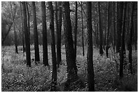 Dark trunks of pine trees at edge of meadow. Congaree National Park ( black and white)