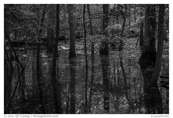 Flooded forest and reflections. Congaree National Park (black and white)