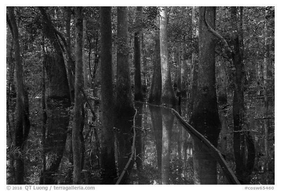 Flooded boardwalk. Congaree National Park (black and white)