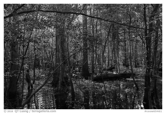 Visitor looking, flooded forest in summer. Congaree National Park (black and white)