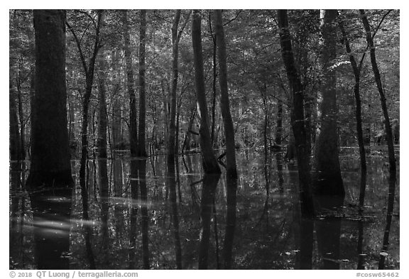 Flooded forest in summer. Congaree National Park (black and white)