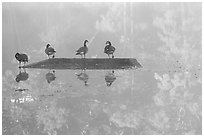 Geese and misty reflections on Kendal lake. Cuyahoga Valley National Park, Ohio, USA. (black and white)