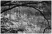 Arching tree and reflection on Kendal lake. Cuyahoga Valley National Park, Ohio, USA. (black and white)