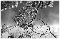 Branches and mist, Kendal lake. Cuyahoga Valley National Park, Ohio, USA. (black and white)