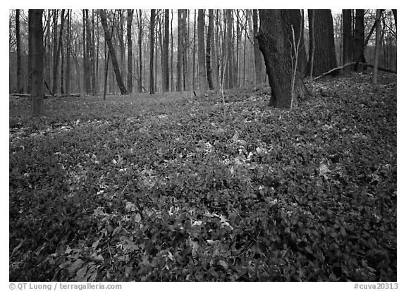 Myrtle flowers on forest floor, Brecksville Reservation. Cuyahoga Valley National Park (black and white)