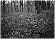 Myrtle flowers on forest floor in early spring, Brecksville Reservation. Cuyahoga Valley National Park, Ohio, USA. (black and white)