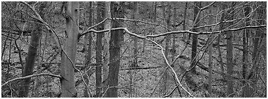Criss-crossing branches in bare forest. Cuyahoga Valley National Park (Panoramic black and white)