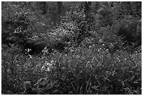 Wildflowers and blooms in summer. Cuyahoga Valley National Park ( black and white)