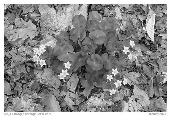 Close up of Marsh Marigold (Caltha palustris) growing amidst fallen leaves. Cuyahoga Valley National Park (black and white)