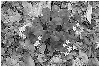 Marsh marigold (Caltha palustris) growing amidst fallen leaves. Cuyahoga Valley National Park, Ohio, USA. (black and white)