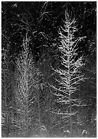 Bare trees in winter, spolighted against dark forest, Tennessee. Great Smoky Mountains National Park, USA. (black and white)