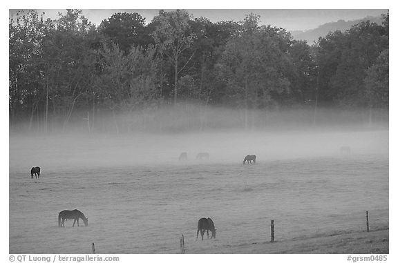 Horses and fog, Cades cove, dawn, Tennessee. Great Smoky Mountains National Park (black and white)