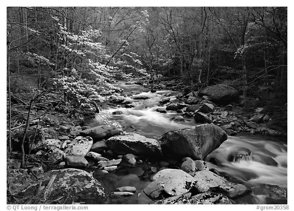 Spring scene of dogwood trees next to river flowing over boulders, Treemont, Tennessee. Great Smoky Mountains National Park (black and white)