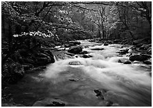 Stream with rapids and dogwoods in spring, Treemont, Tennessee. Great Smoky Mountains National Park ( black and white)