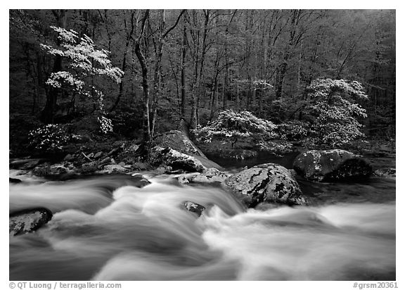 Three dogwoods with blossoms, boulders, flowing water, Middle Prong of the Little River, Tennessee. Great Smoky Mountains National Park (black and white)