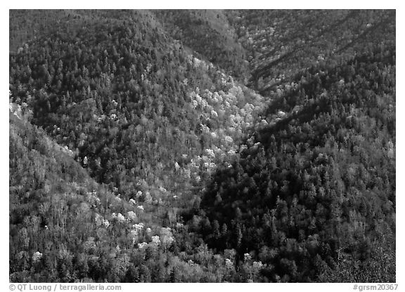 Hillside covered with trees in early spring, North Carolina. Great Smoky Mountains National Park (black and white)