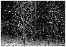 Bare trees in winter, early morning, Tennessee. Great Smoky Mountains National Park ( black and white)