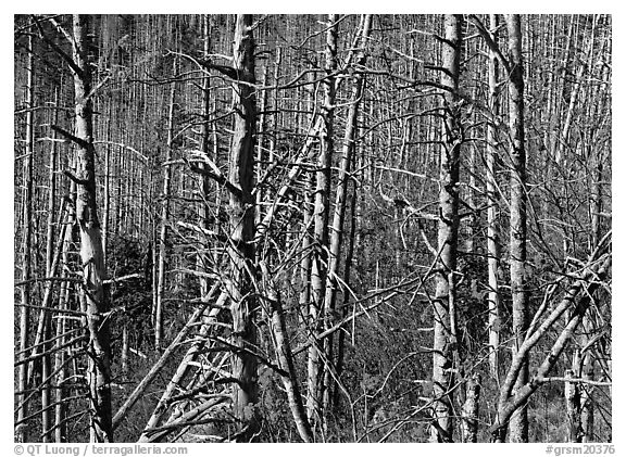 Bare trees with Mountain Ash  berries, North Carolina. Great Smoky Mountains National Park (black and white)