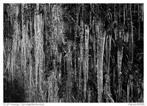 Icicles and green leaves. Great Smoky Mountains National Park (black and white)
