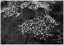Flowering Dogwood (Cornus Florida), Tennessee. Great Smoky Mountains National Park ( black and white)