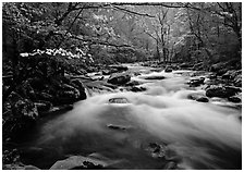 Fluid stream with  and dogwoods trees in spring, Treemont, Tennessee. Great Smoky Mountains National Park ( black and white)