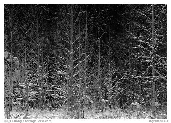 Sunlit trees in winter. Great Smoky Mountains National Park (black and white)
