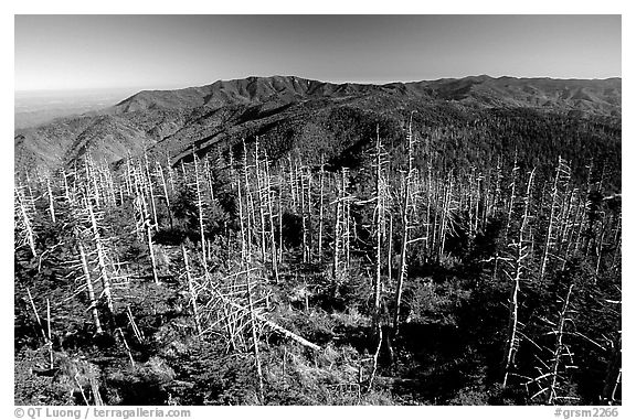 Fraser firs killed by balsam woolly adelgid insects on top of Clingman's dome, North Carolina. Great Smoky Mountains National Park (black and white)
