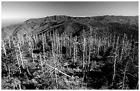 Fraser firs killed by balsam woolly adelgid insects on top of Clingman's dome, North Carolina. Great Smoky Mountains National Park, USA. (black and white)