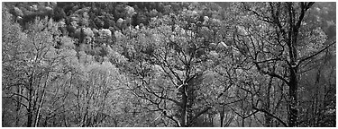 Trees with new leaves and hillside. Great Smoky Mountains National Park (Panoramic black and white)