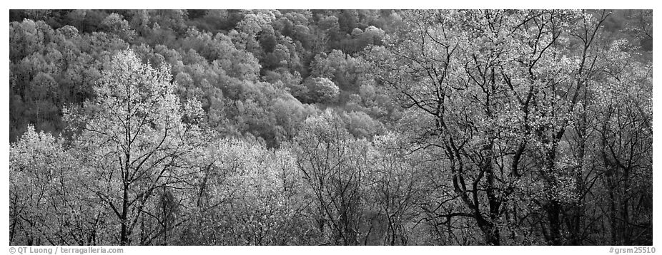 Spring landscape with new leaves. Great Smoky Mountains National Park (black and white)