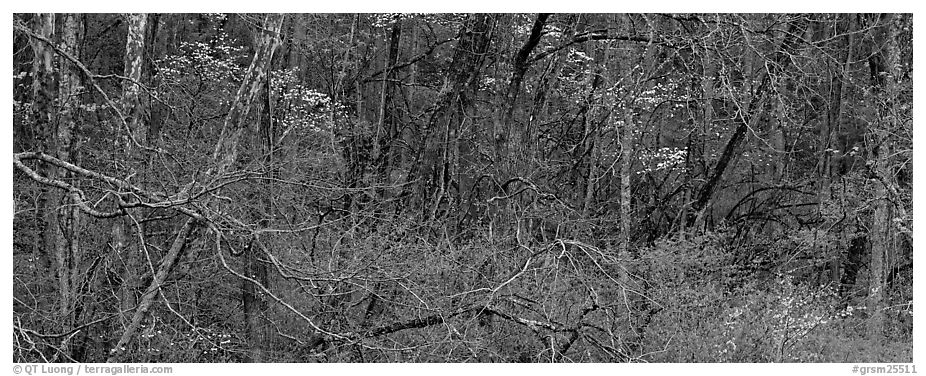 Spring forest scene with trees in bloom. Great Smoky Mountains National Park (black and white)