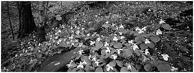 Forest floor with trilium. Great Smoky Mountains National Park (Panoramic black and white)