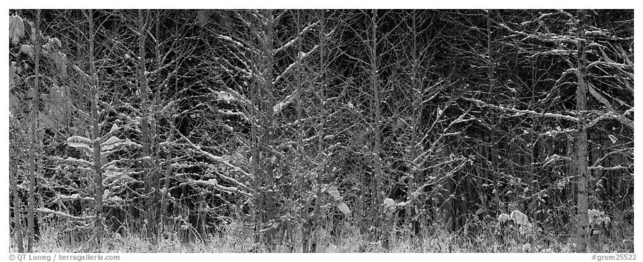 Forest scene in winter with fresh snow. Great Smoky Mountains National Park (black and white)