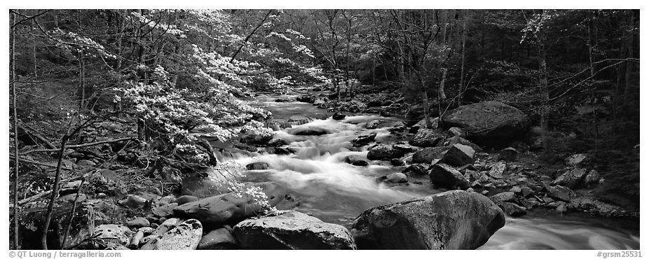 Forest scenery with dogwood blooming, stream, and boulders. Great Smoky Mountains National Park (black and white)