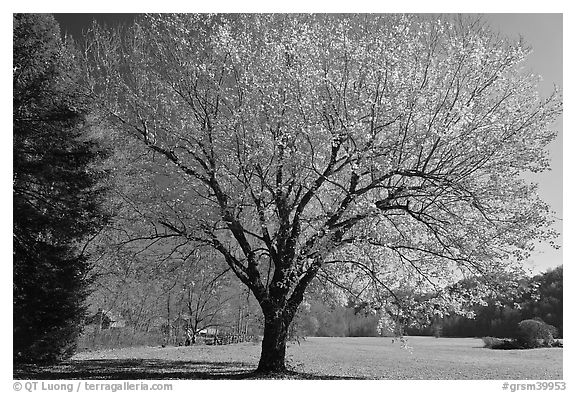 Tree in autumn foliage and meadow, Oconaluftee, North Carolina. Great Smoky Mountains National Park (black and white)