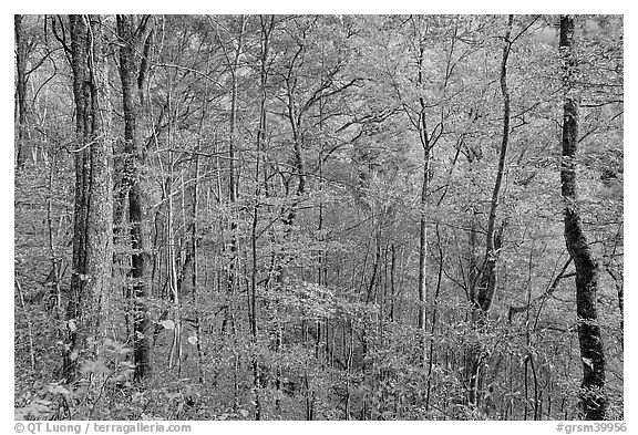 Trees in autumn colors in muted light, Balsam Mountain, North Carolina. Great Smoky Mountains National Park (black and white)