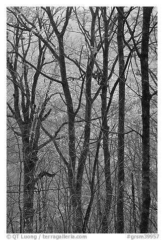 Trunks and fall colors, Balsam Mountain, North Carolina. Great Smoky Mountains National Park (black and white)