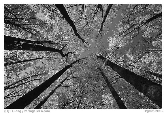 Looking up forest in fall color, Tennessee. Great Smoky Mountains National Park (black and white)