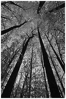 Looking up forest in fall foliage, Tennessee. Great Smoky Mountains National Park ( black and white)