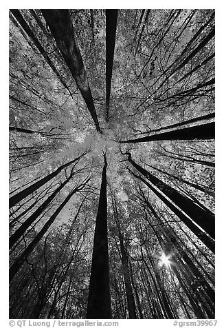 Forest in autumn color with sun through trees, Tennessee. Great Smoky Mountains National Park (black and white)