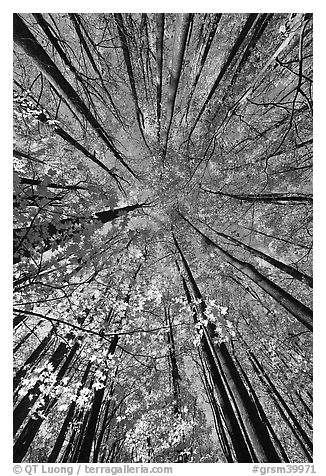 Looking up yellow leaves and forest in autumn color, Tennessee. Great Smoky Mountains National Park (black and white)