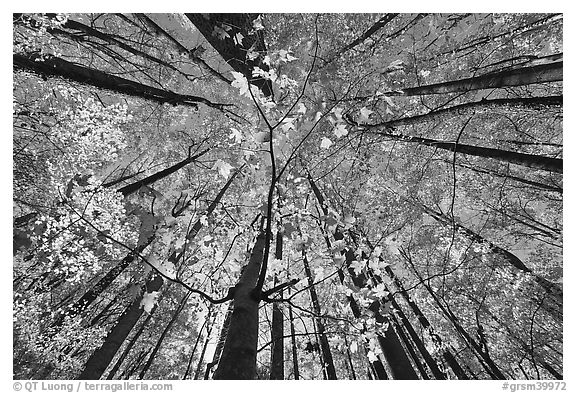 Looking up red leaves and forest in autumn foliage, Tennessee. Great Smoky Mountains National Park (black and white)