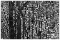 Twisted dark trees and sunny forest in fall, Tennessee. Great Smoky Mountains National Park ( black and white)