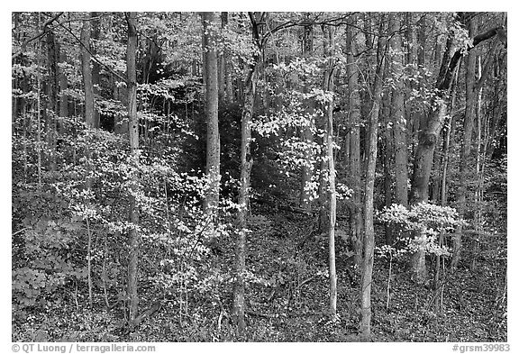 Trees with bright leaves in hillside forest, Tennessee. Great Smoky Mountains National Park (black and white)