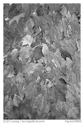 Close-up of tree branch with autumn foliage, Tennessee. Great Smoky Mountains National Park (black and white)