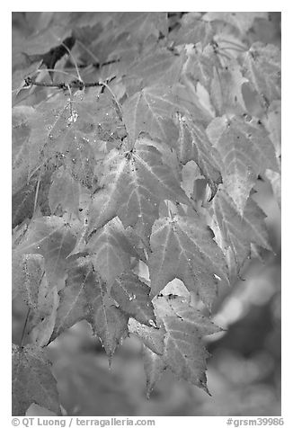 Close-up of leaves in fall color, Tennessee. Great Smoky Mountains National Park (black and white)